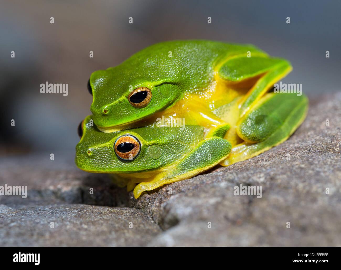 Dainty Green Tree Frog (Litoria gracilenta). also known as Graceful Tree Frog, NSW, Australia - Stock Image
