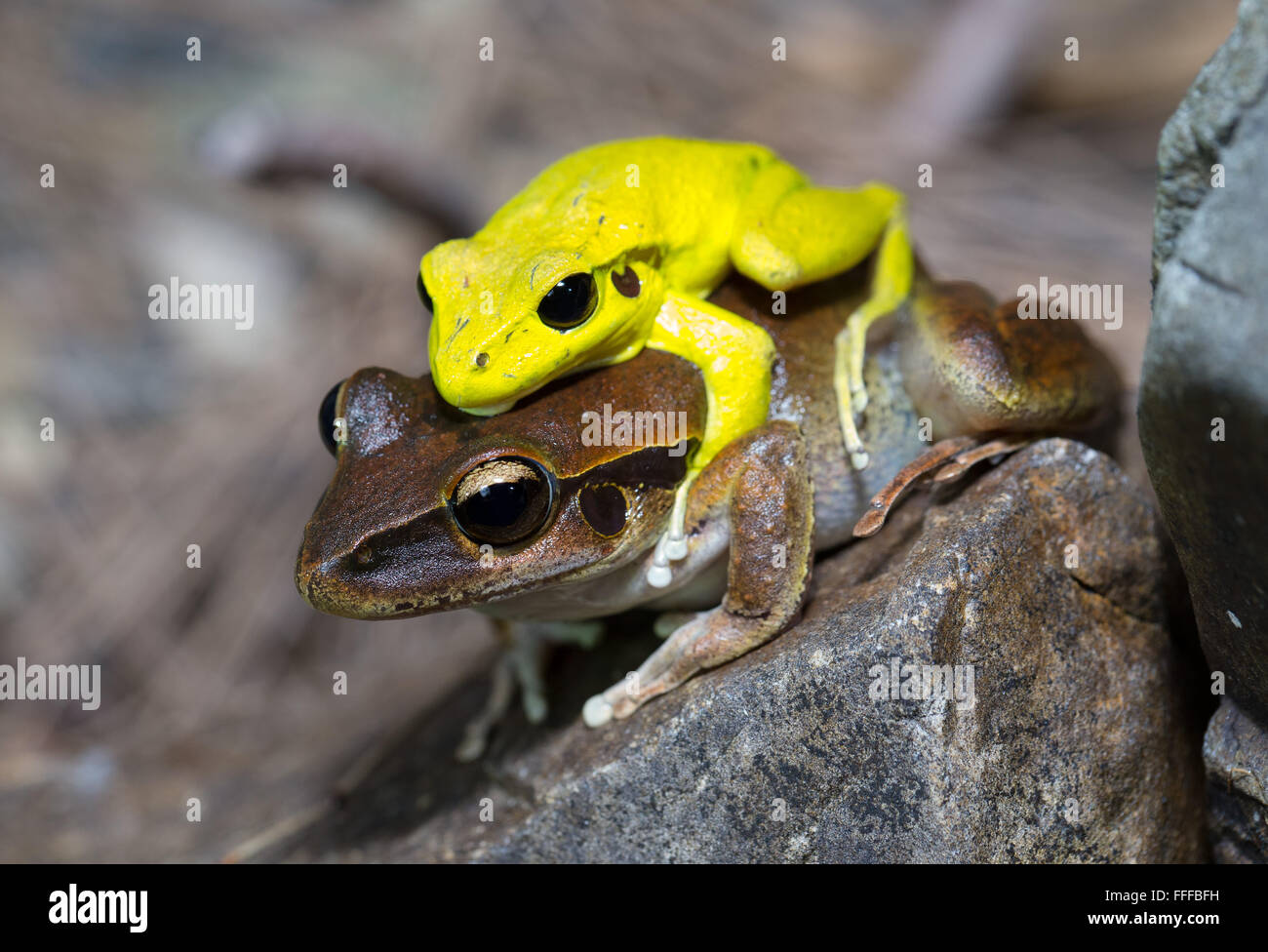 Male and female Stony Creek Frog (Litoria wilcoxii) in amplexus, northern NSW, Australia - Stock Image
