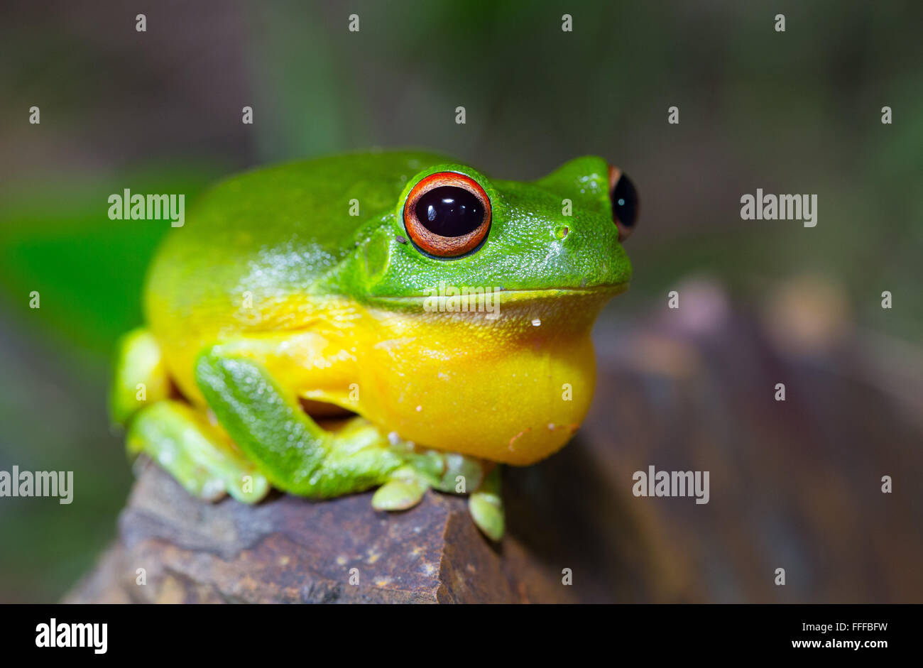 Australian Red-eyed tree frog (Litoria chloris), also known as Orange-eyed Tree frog,  inflating throat sac while - Stock Image