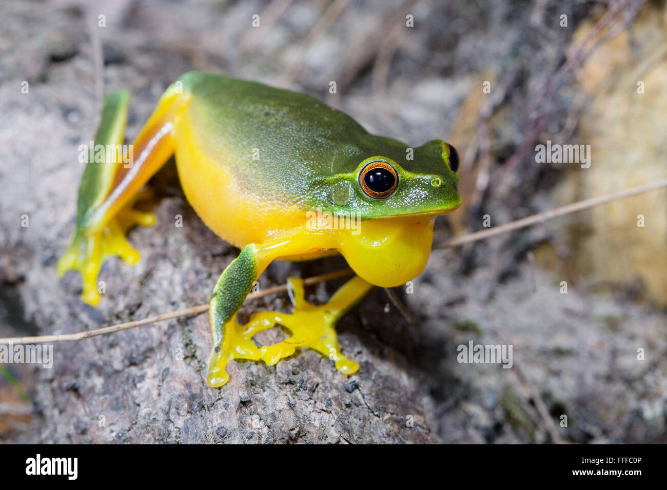 Dainty Green Tree Frog (Litoria gracilenta). also known as Graceful Tree Frog,  inflating throat sac while calling, - Stock Image
