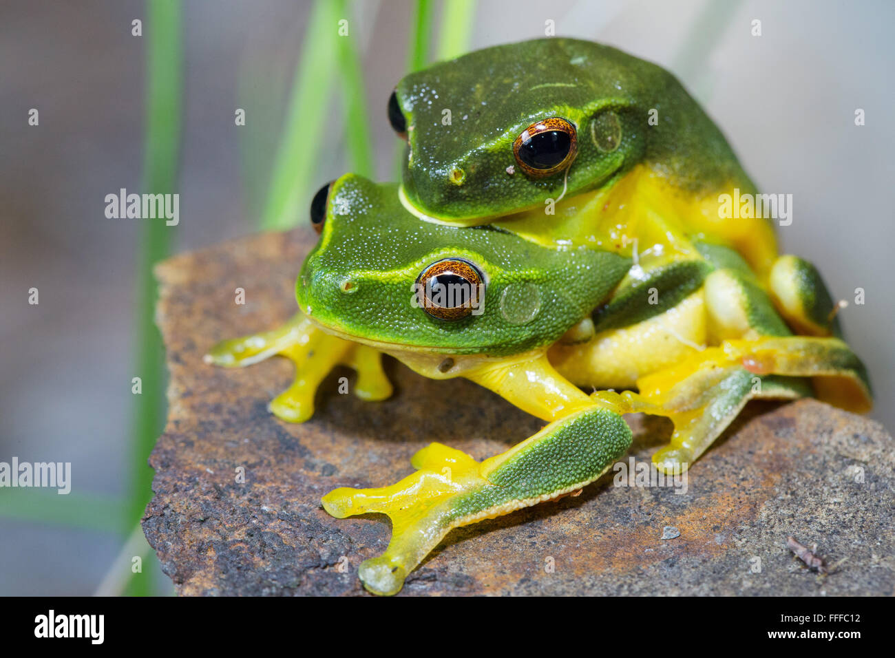 Dainty Green Tree Frog (Litoria gracilenta). also known as Graceful Tree Frog, in amplexus, NSW, Australia - Stock Image