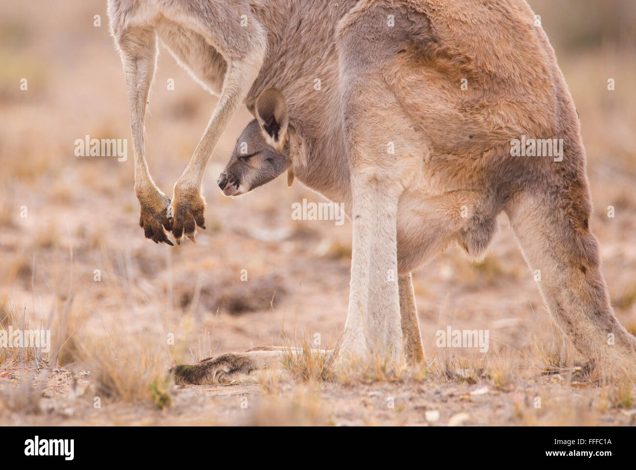 Female Red Kangaroo (Macropus rufus) with young joey in pouch,  outback Queensland, Australia - Stock Image