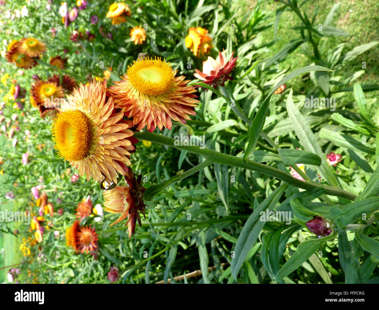 Helichrysum bracteatum straw flower ornamental herb with hairy helichrysum bracteatum straw flower ornamental herb with hairy stems lanceolate leaves and papery orange yellow flower head mightylinksfo