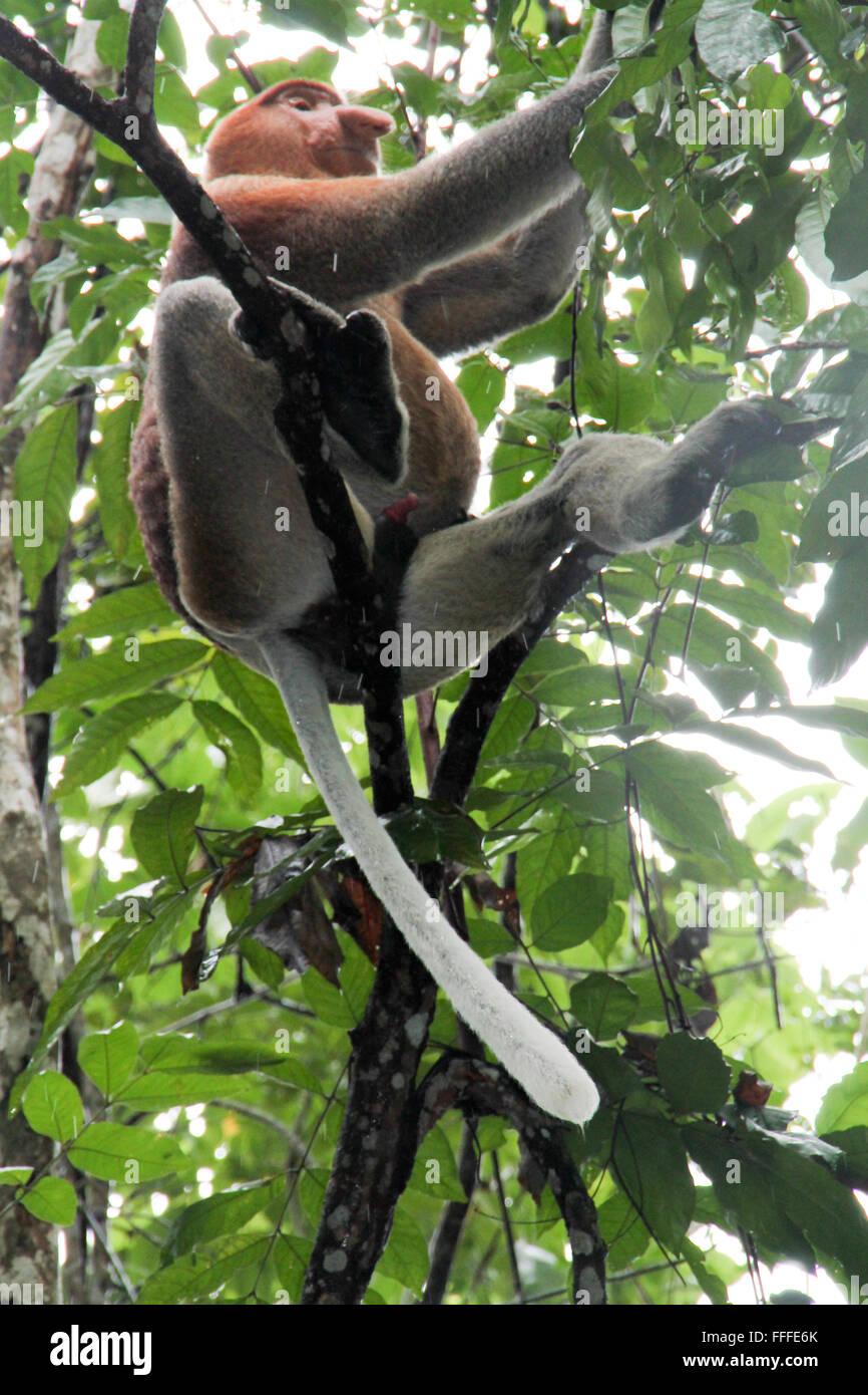 Proboscis Monkey, Bako National Park, Borneo, Malaysia - Stock Image