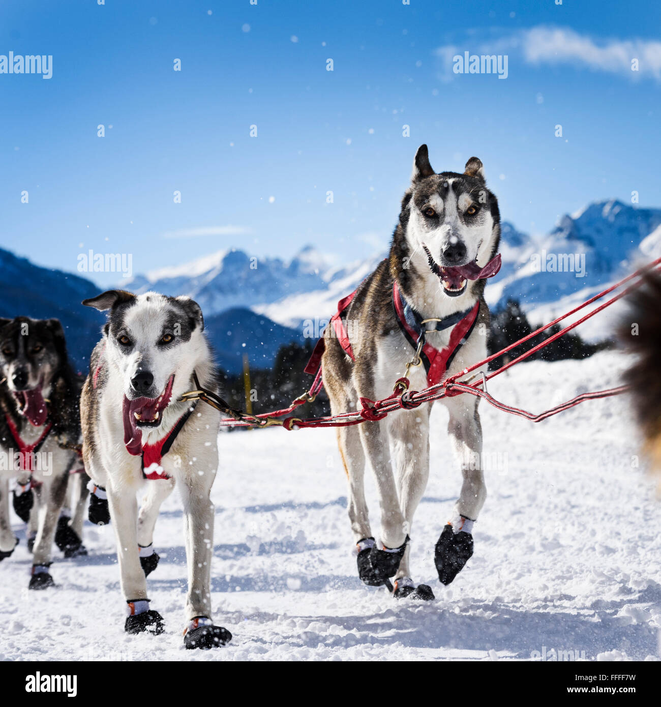 musher dogteam driver and Siberian husky at snow winter competition race in forest - Stock Image