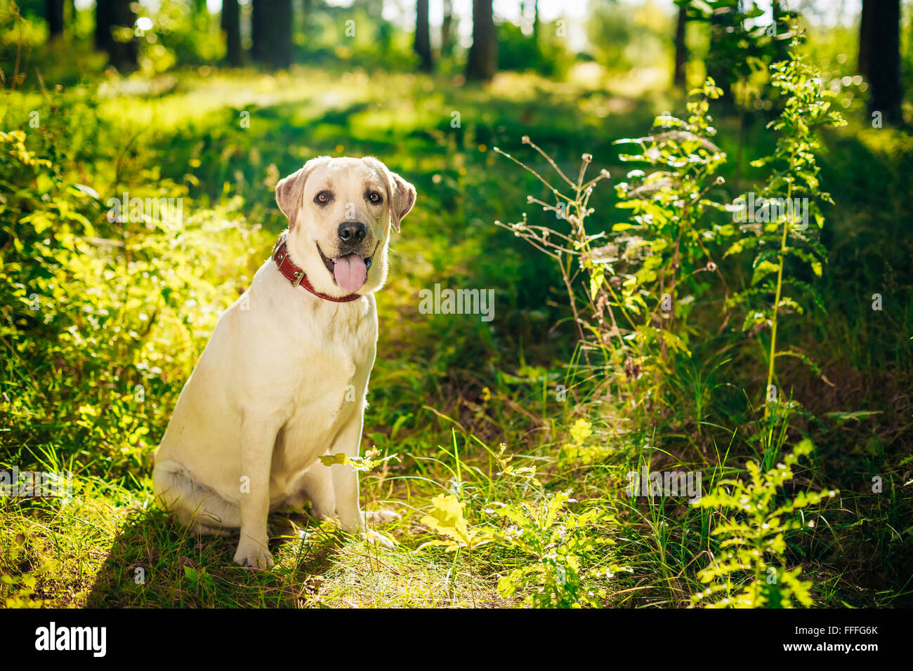 White Labrador Retriever Dog Sitting In Green Grass, Park - Stock Image