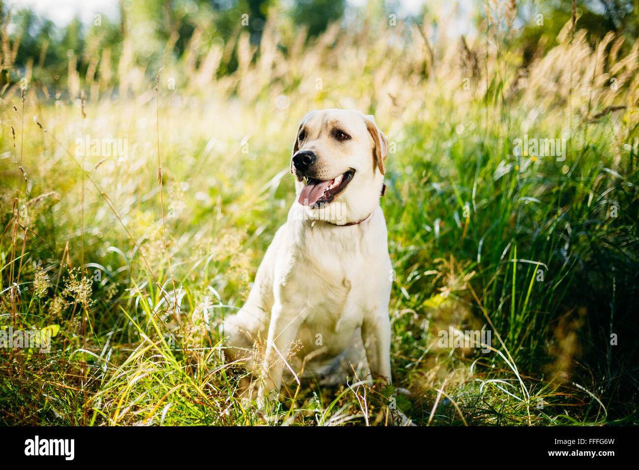 White Labrador Retriever Dog Sitting In Grass, Forest Park Background. - Stock Image