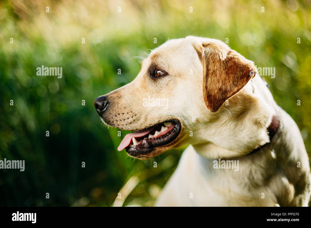 Close up face of funny white Labrador Retriever Dog Sitting In Green Grass - Stock Image