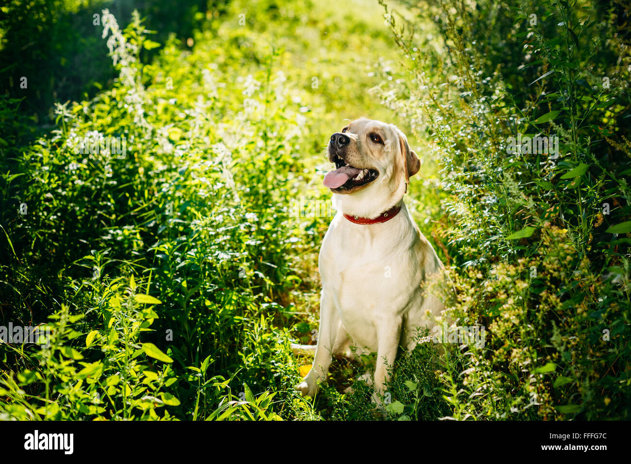 Happy White Labrador Retriever Dog Sitting In Grass, Forest Park Background. - Stock Image