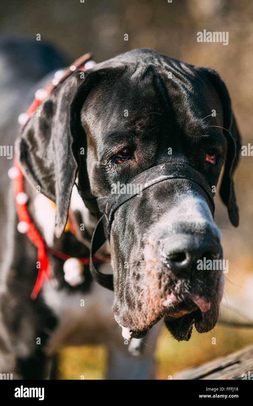 The Great Dane is a large German breed of domestic dog (Canis lupus familiaris) known for its enormous body and - Stock Image