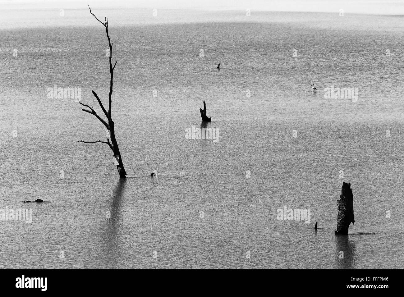 daed trees and pelican bird standing out of mighty Murray river in South AUstralia. Black white version only, no - Stock Image