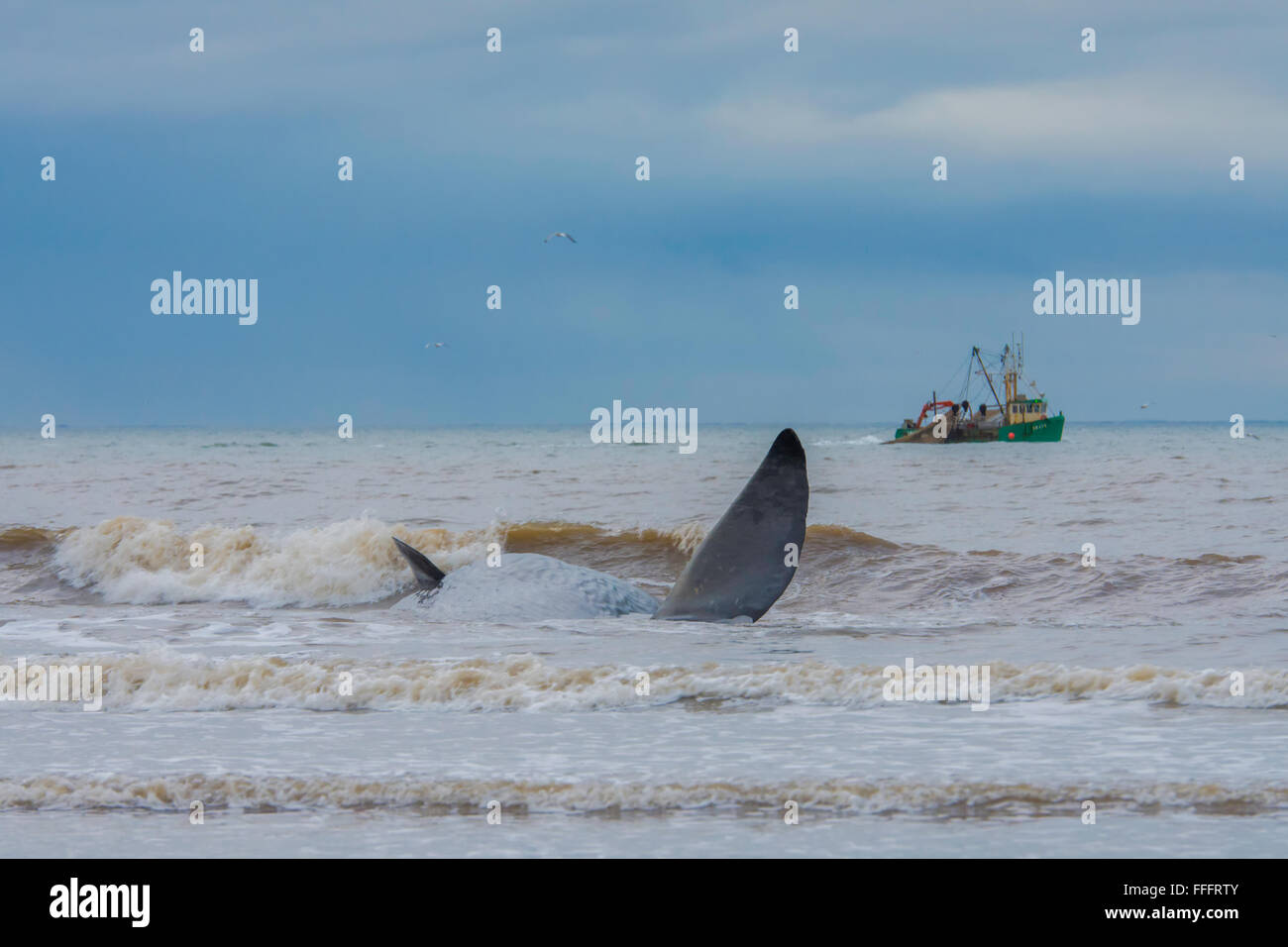 Stranded Sperm Whale (Physeter macrocephalus) on the Norfolk Coast. - Stock Image