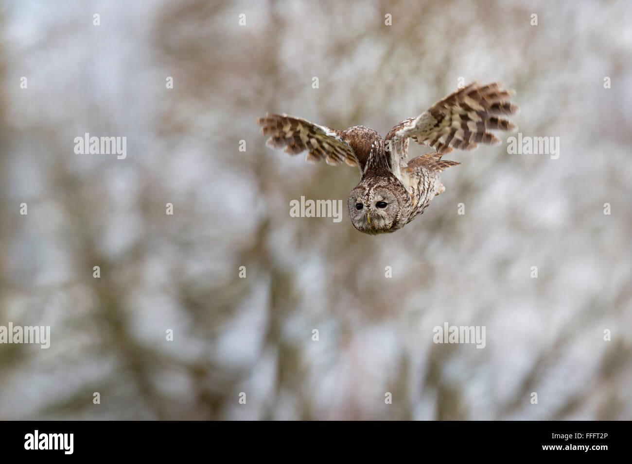 Tawny Owl; Strix aluco Single in Flight Scotland; UK - Stock Image