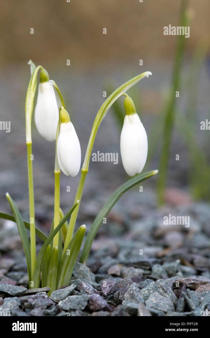 Galanthus, snowdrop flowers growing in a alpine rock garden - Stock Image