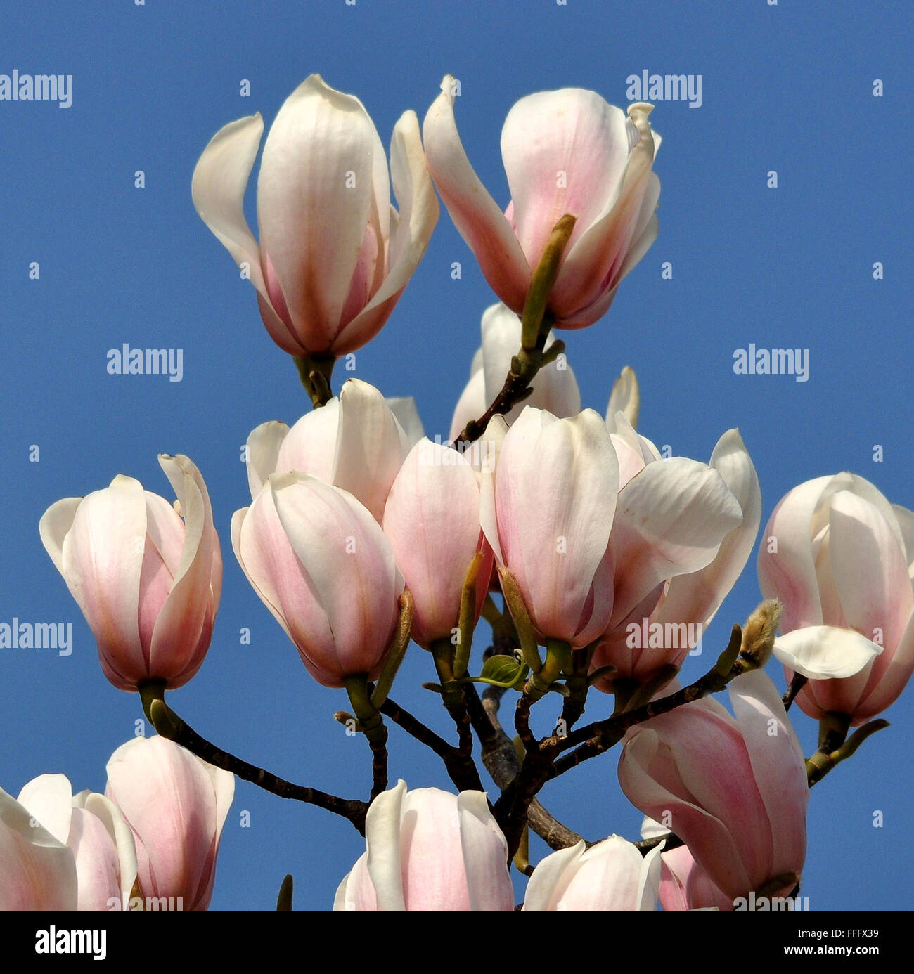 Magnolia This Is A Beautiful Summer Flowering Tree Vibrant And