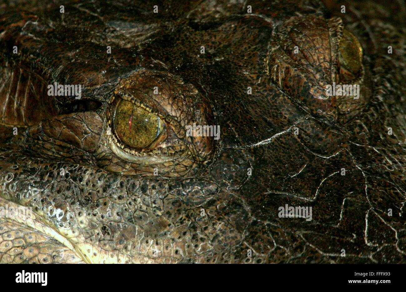 African Slender snouted crocodile (Mecistops cataphractus) extreme close-up of the reptilian eyes Stock Photo