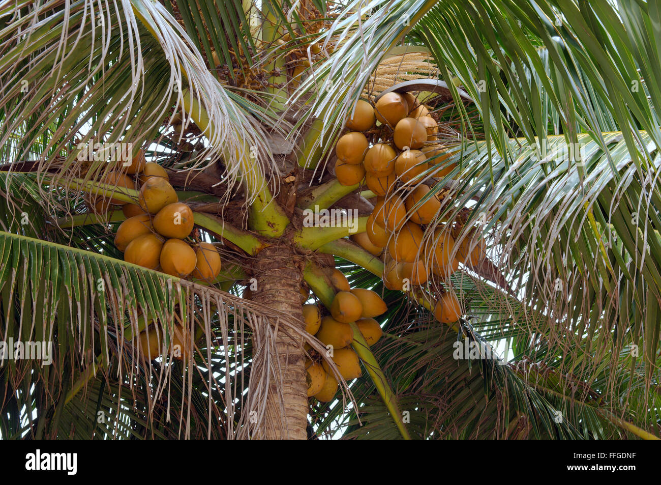 Asian nut bearing palm
