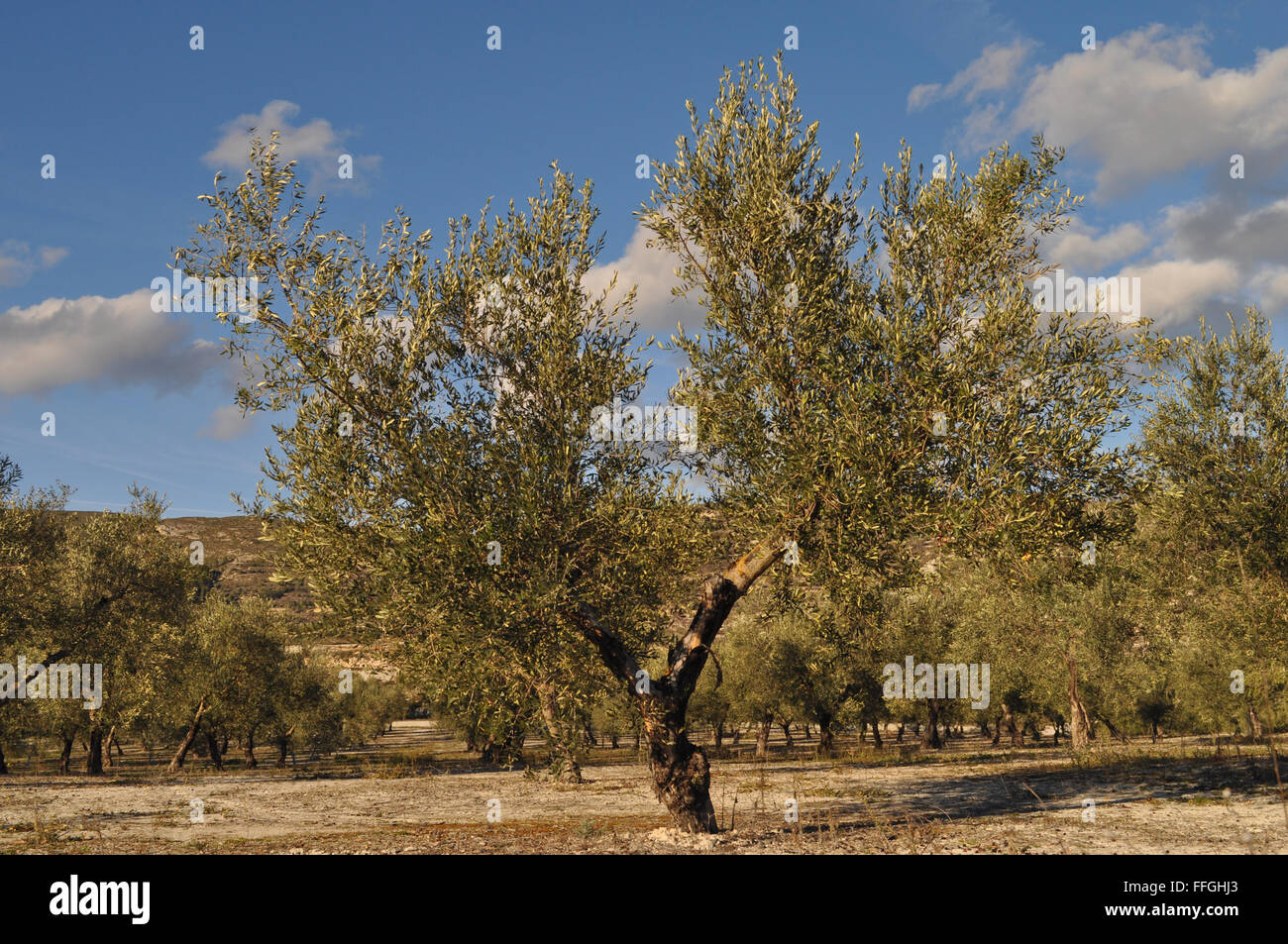 Olive tree, Olea europaea, in an orchard, Alicante Province, Spain. Stock Photo