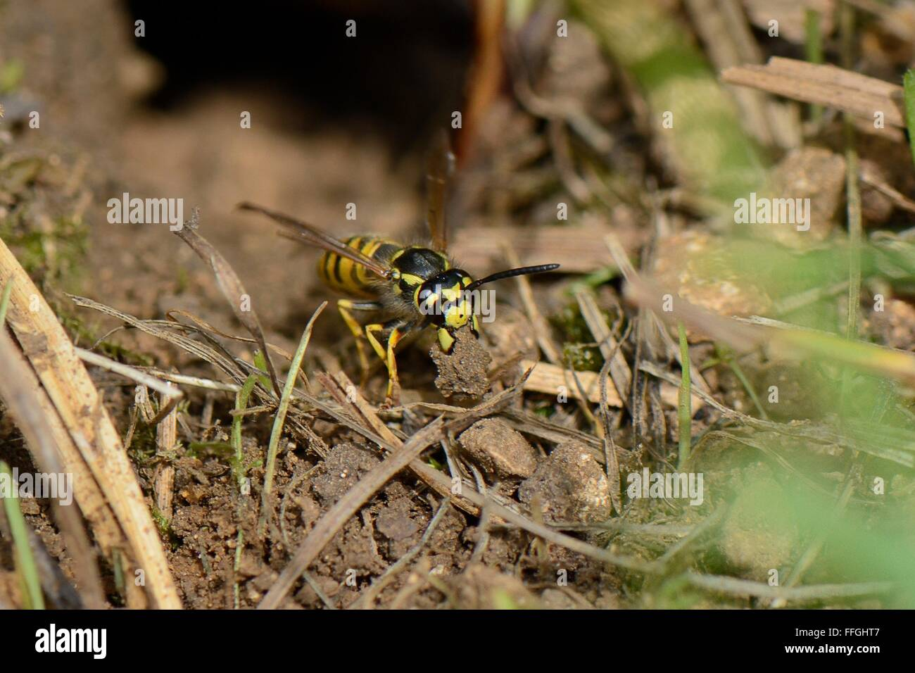 German / European wasp (Vespula germanica) worker excavating a nest cavity and carrying a ball of soil to deposit - Stock Image