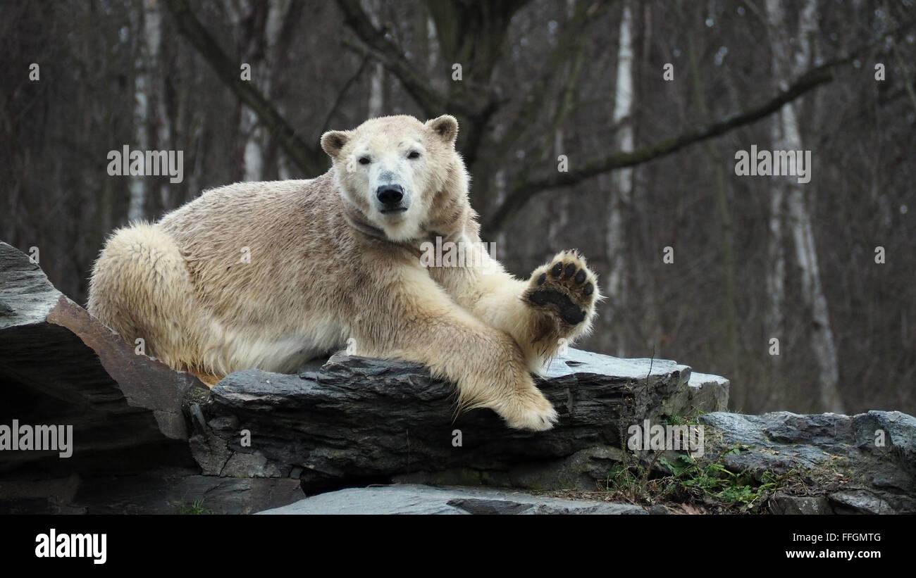 Winking Icebear, winkender Eisbär, Urso dando xau tchao, Schau schau, Stock Photo
