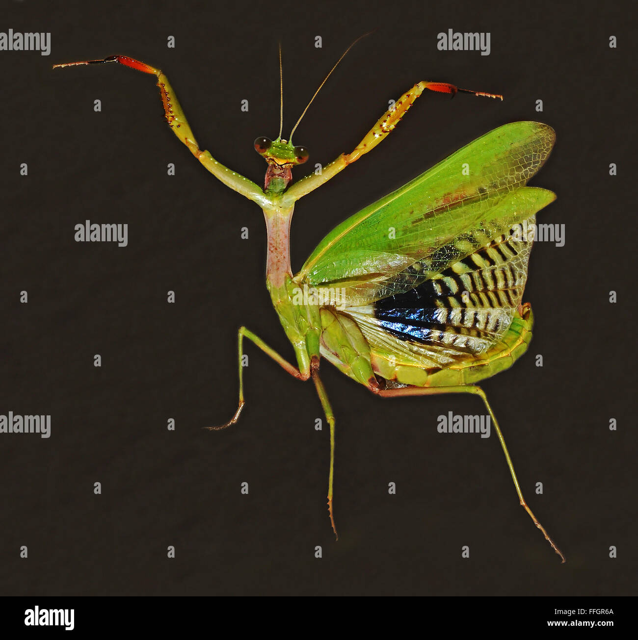 praying mantis on black background Stock Photo