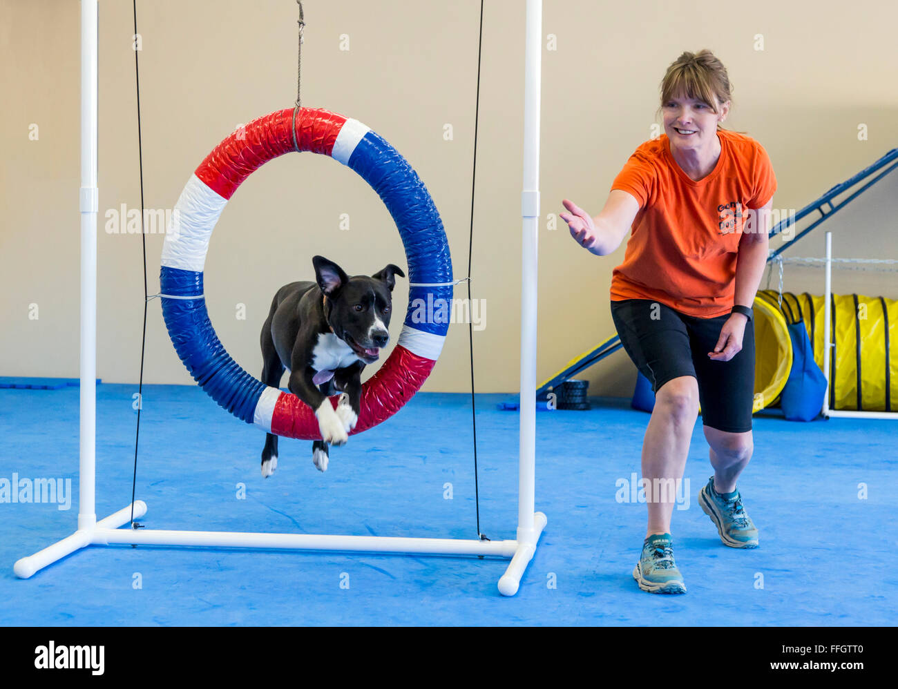 Professional female dog handler training dog to jump through hoop obstacle - Stock Image