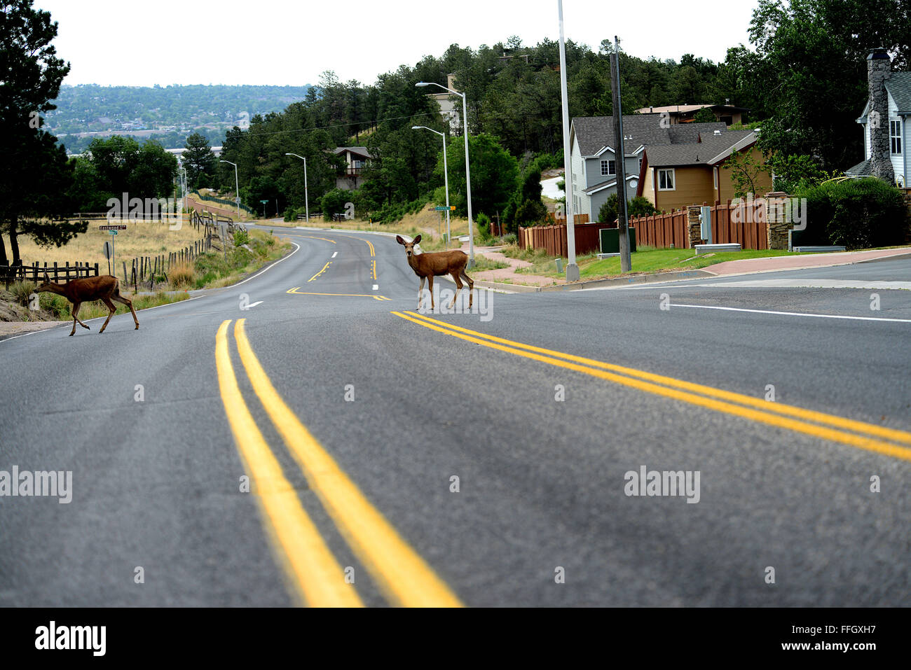 A couple of deer cross the road of an evacuated neighborhood in the Mount St. Francis area of Colorado Springs, Stock Photo