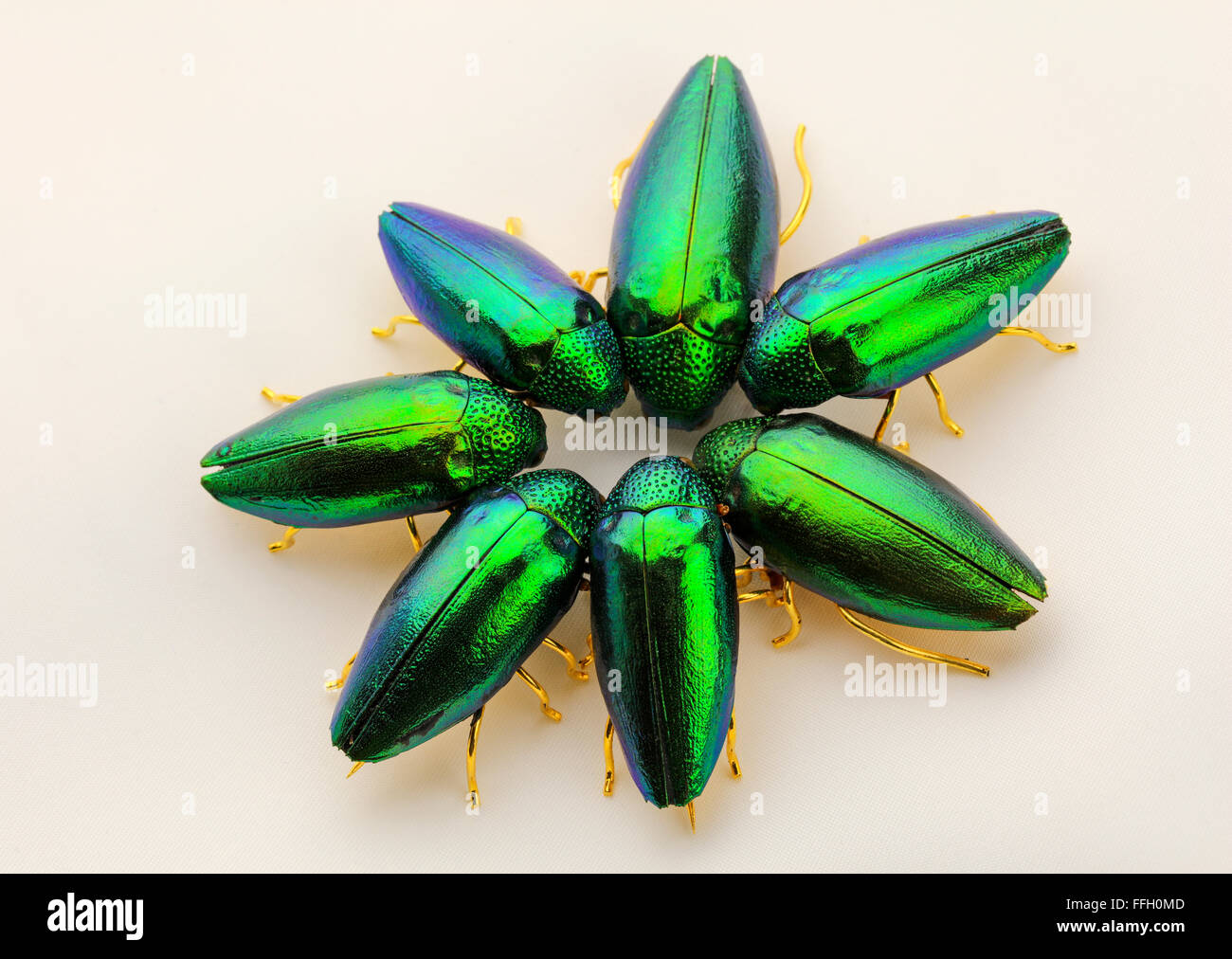 Iridescent Emerald green jewel beetles - Stock Image