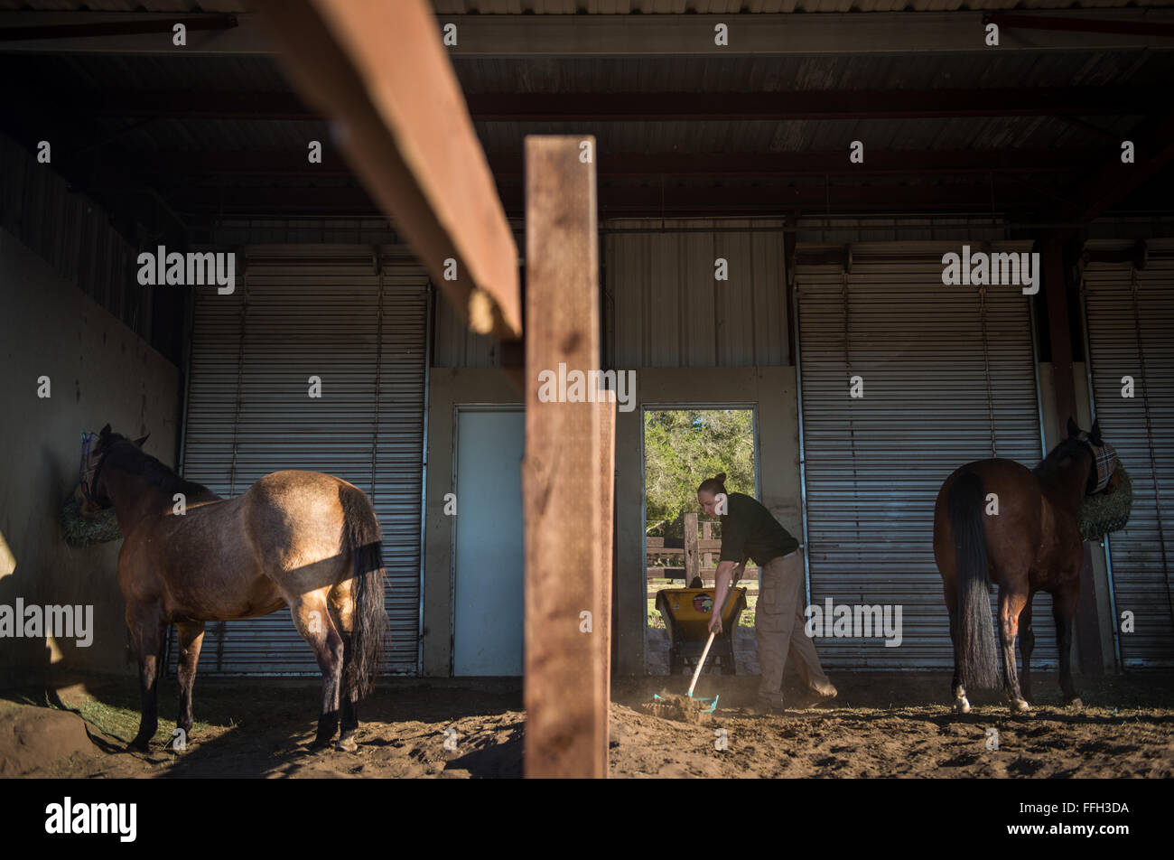 During the mornings, Reserve Staff Sgt. Lauren Daniels mucks out the horse stables as part of checklist to maintain - Stock Image