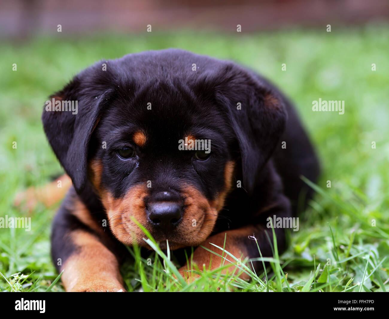 Rottweiler Puppy Purebred German Isabeau Freyja Stock Photo