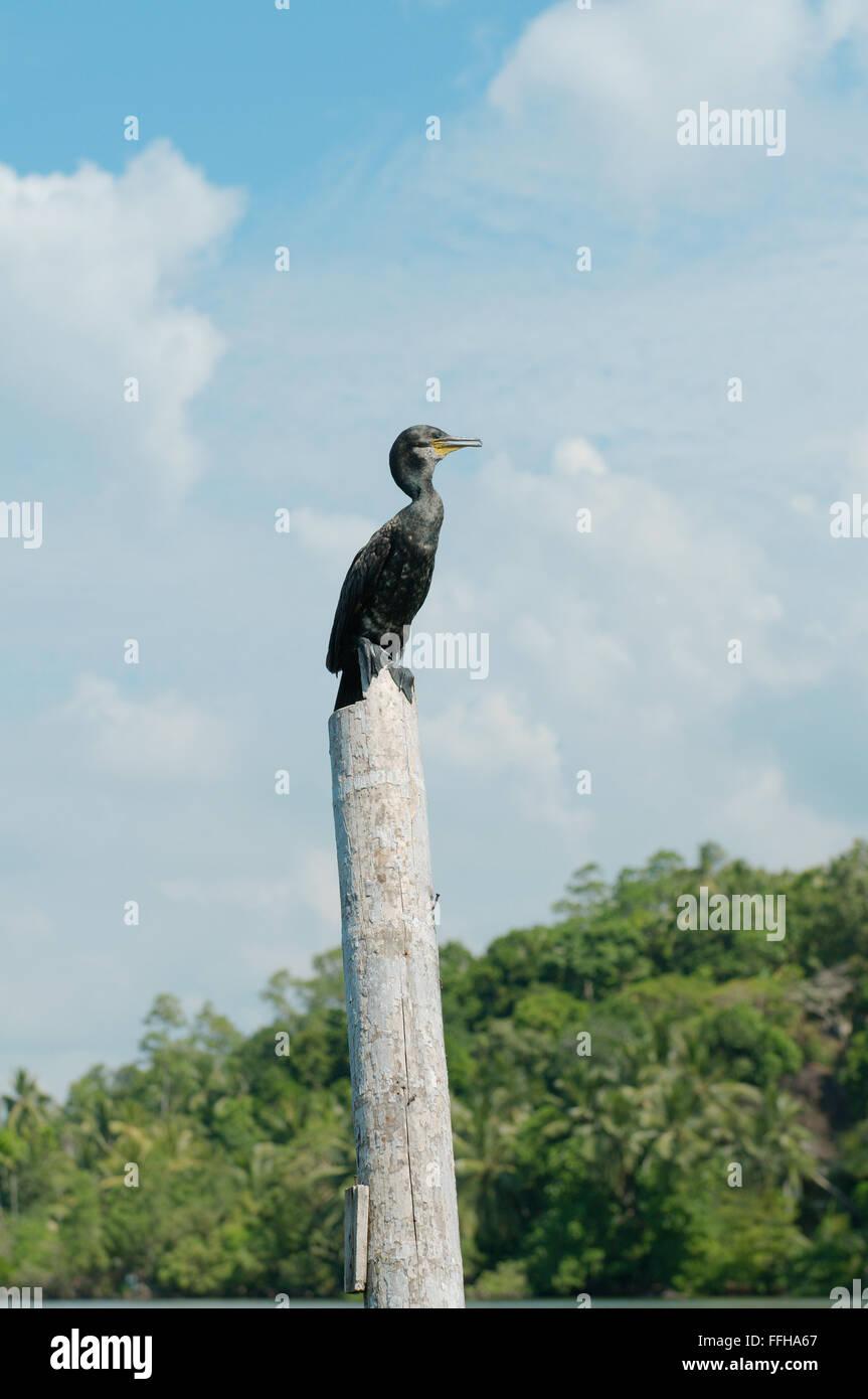 Cormorant or Indian Shag (Phalacrocorax fuscicollis) - Stock Image