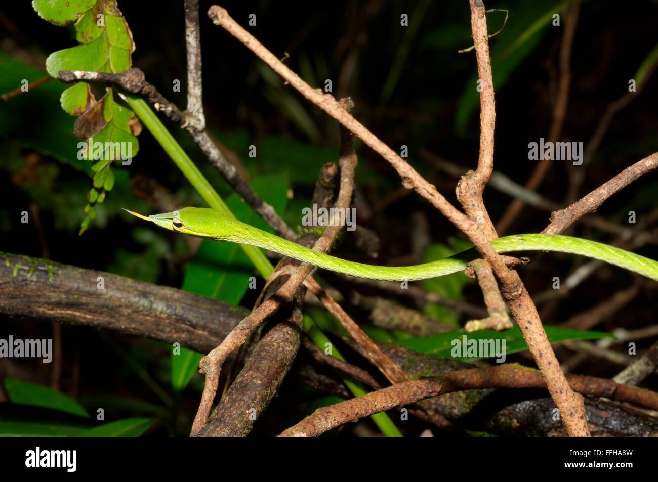 Long-nosed Tree Snake, Green vine snake, Long-nosed Whip Snake or Asian vine snake (Ahaetulla nasuta) Sinharaja Forest Reserve,  Stock Photo