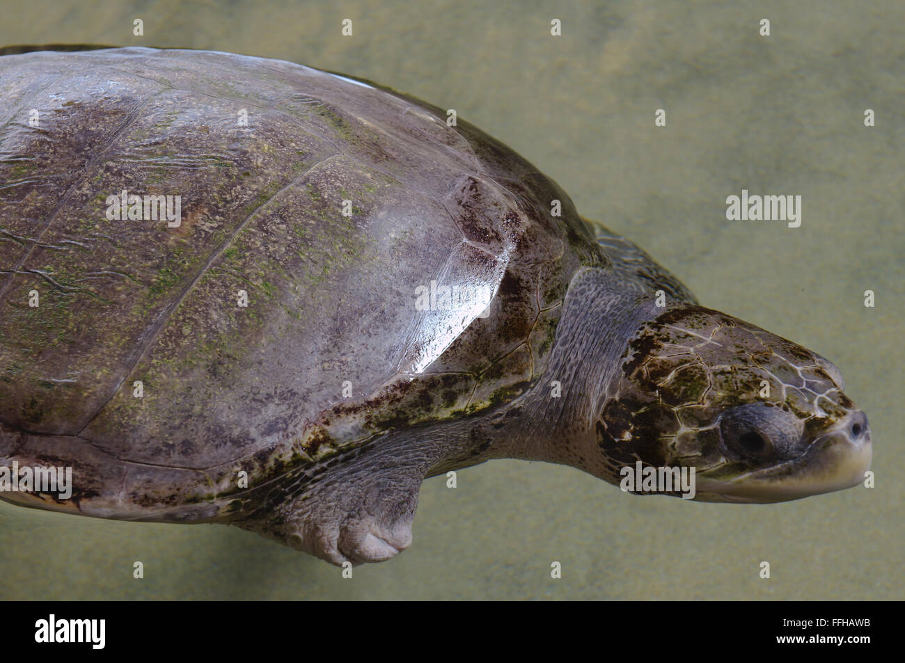 Pacific ridley sea turtle, olive ridley sea turtle or Olive Ridely (Lepidochelys olivacea) - Stock Image