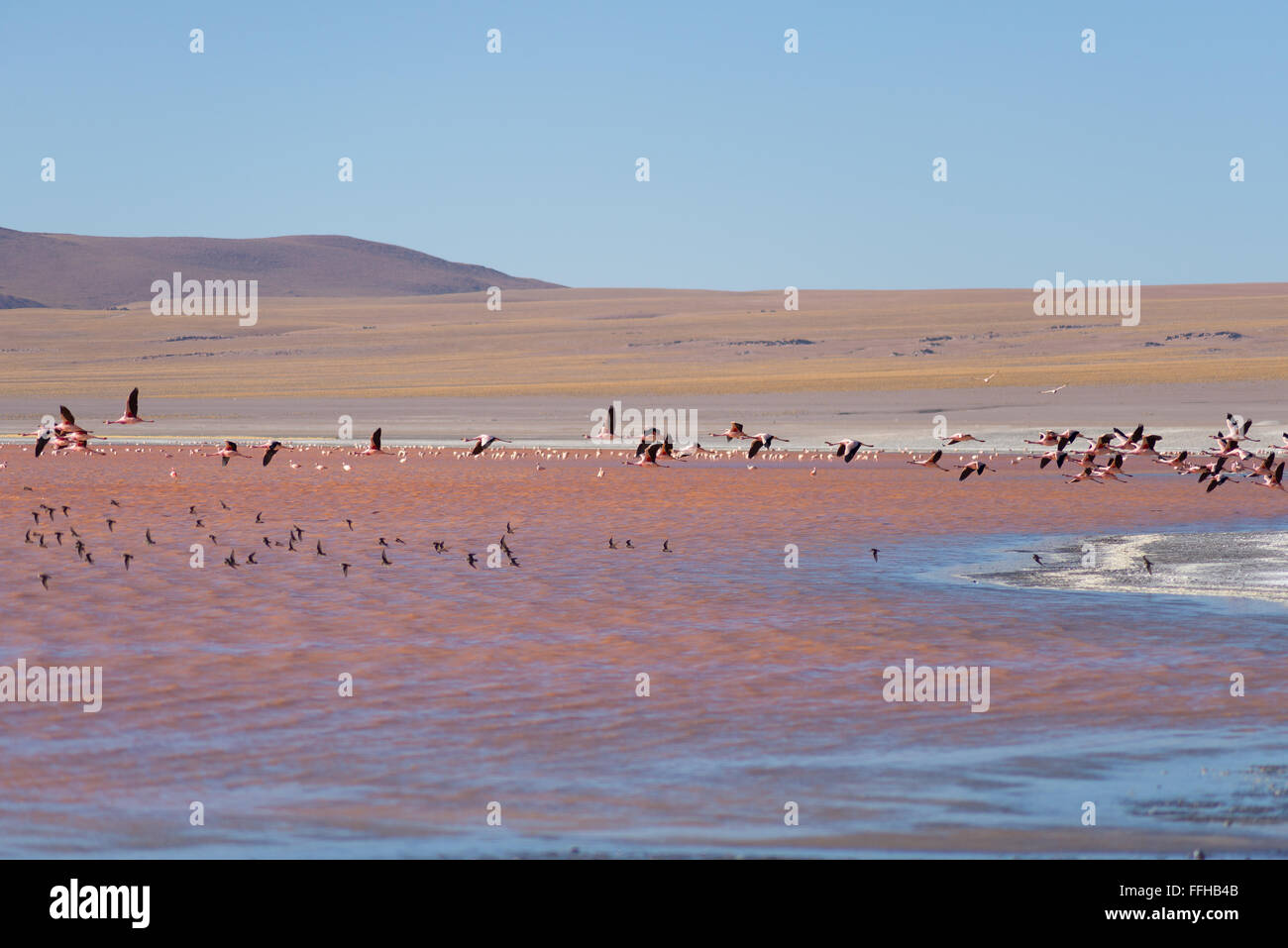 Group of pink flamingo flying over 'Laguna Colorada' (eng. Multi-colored Lake), among the most scenic travel - Stock Image