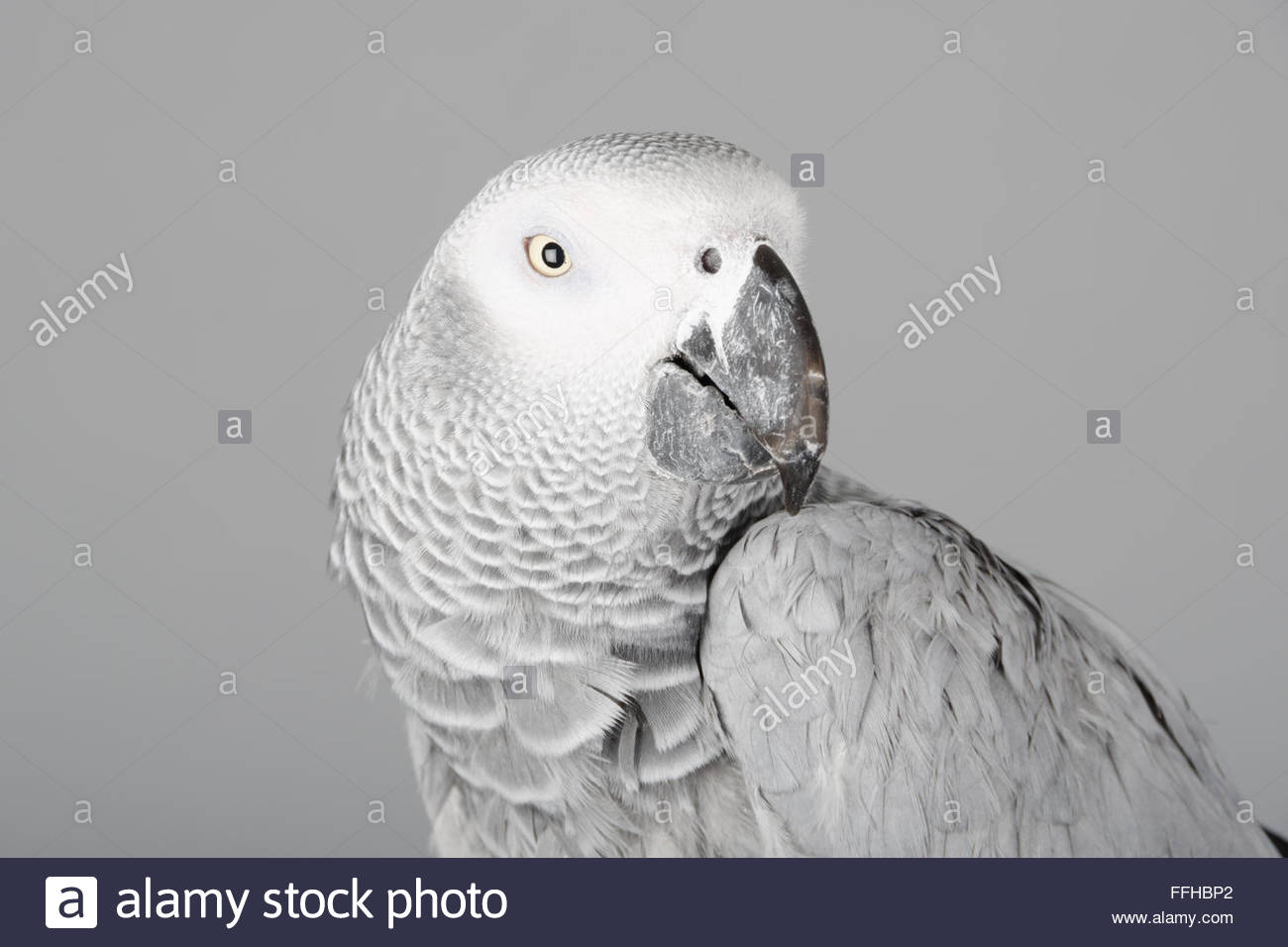 Female African grey parrot called Lola. Stock Photo