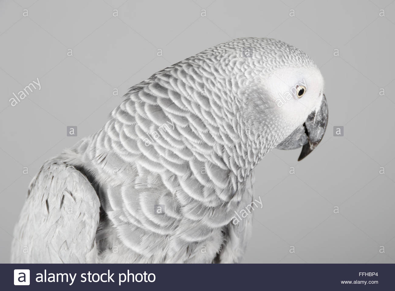 Female African grey parrot called Lola. - Stock Image