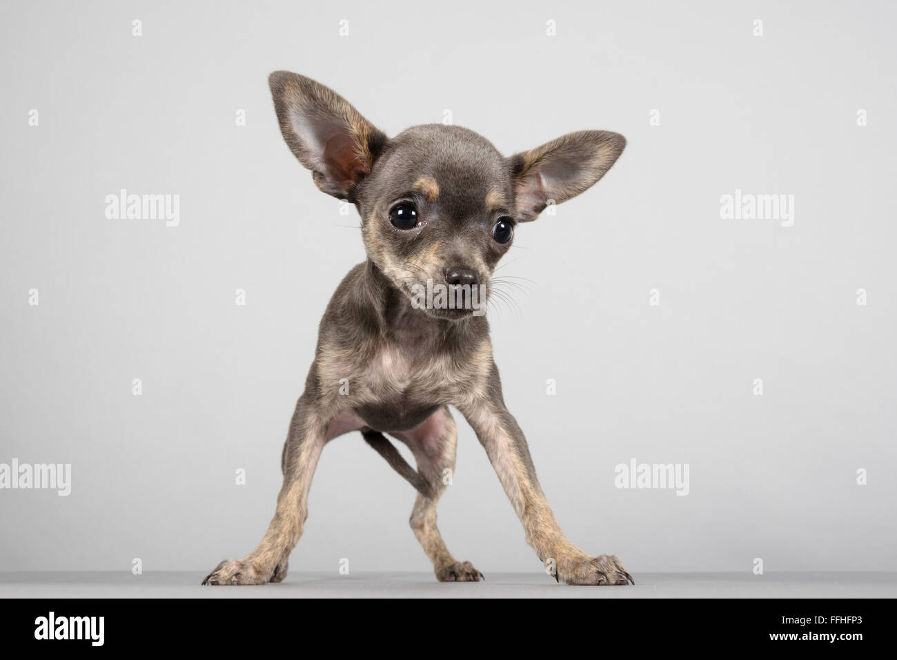 Chihuahua Puppy 13 Weeks On Grey Background Stock Photo Alamy