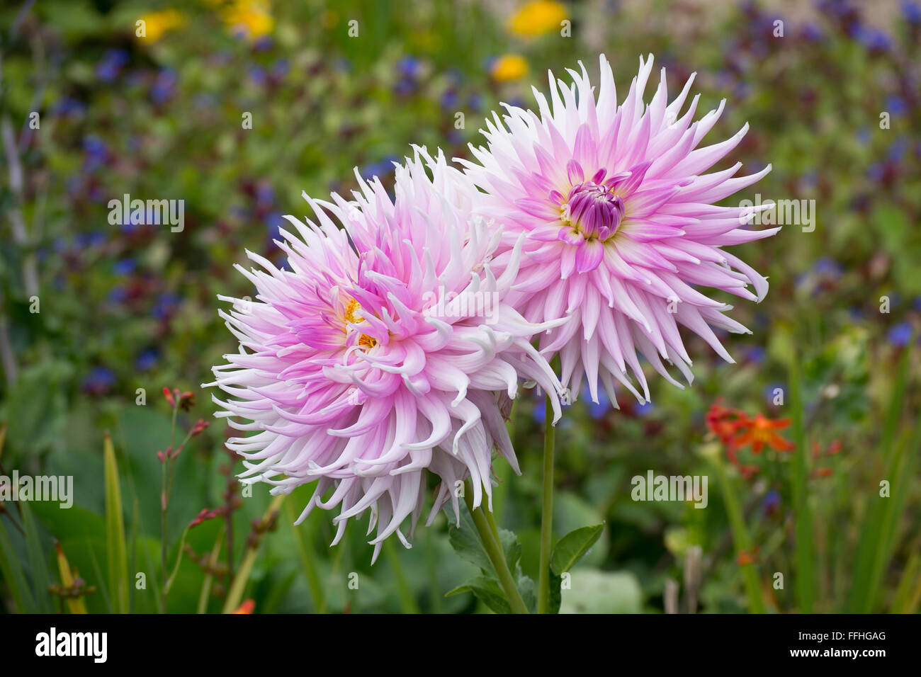 Pink Flowers With Spiky Petals In Garden Stock Photo 95657704 Alamy