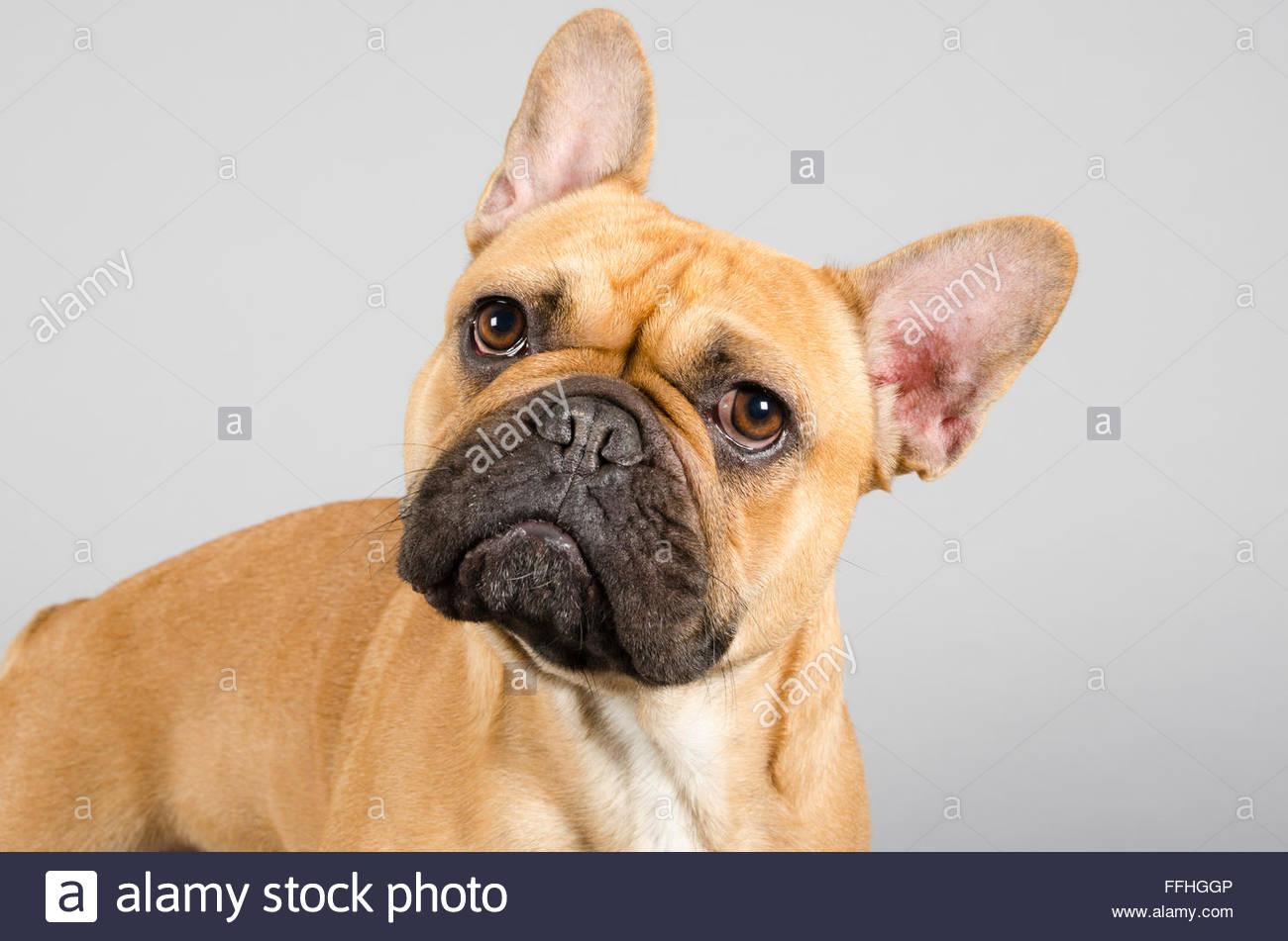 French bulldog called Duke - Stock Image