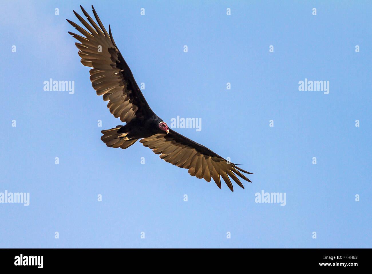 turkey vulture (Cathartes aura)  In Flight Santarem Brazil - Stock Image