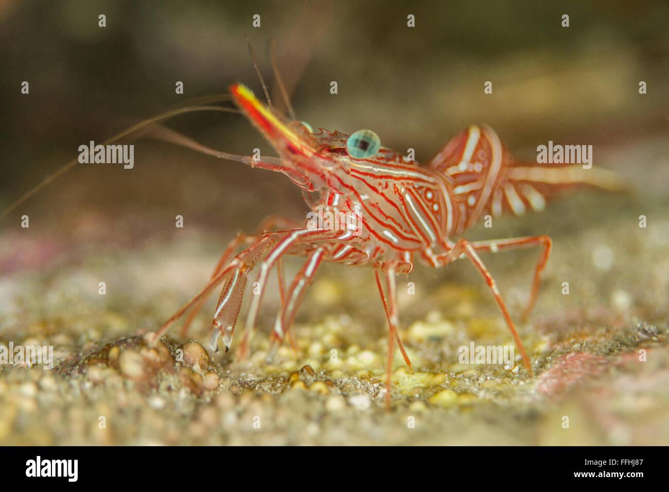 Durban Dancing Shrimp - Rhynchocinetes durbanensis - Stock Image