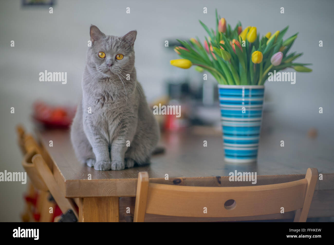 British lilac shorthair cat tomcat sitting on the table at the case bottle with bunch of multicolor spring tulips - Stock Image