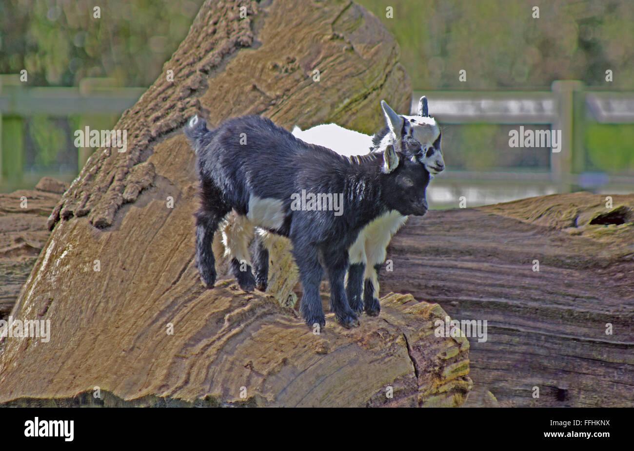 Pygmy Goats, - Stock Image