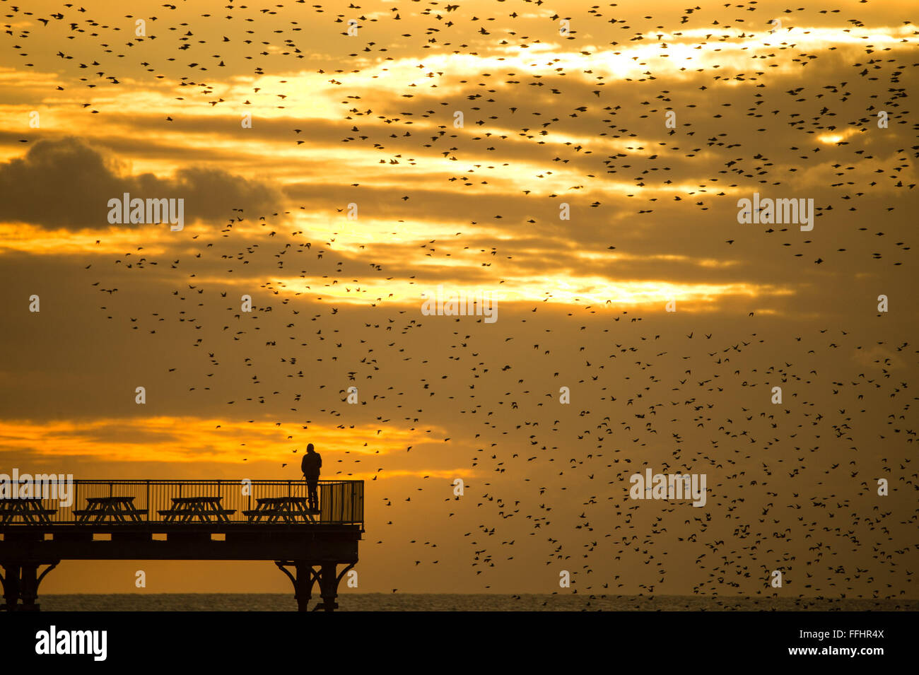 Aberystwyth, Wales, UK. 14th Feb 2016  UK weather: Birdwatchers and photographers are surrounded by a flock of thousands Stock Photo