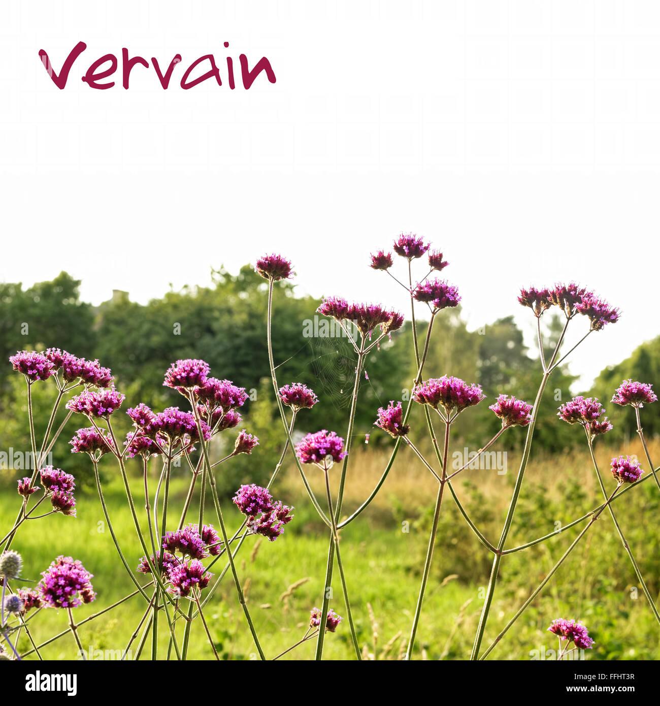 Verbena bonariensis (purpletop or clustertop vervain)  Can protect