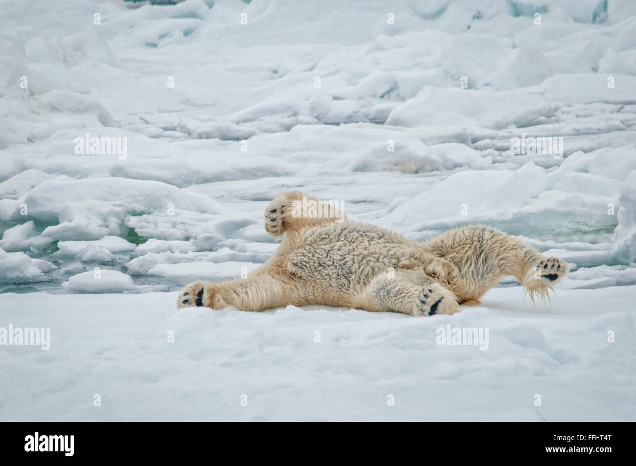 Adult Polar Bear, Ursus Maritimus, showing his black skin as he cleans himself by rolling in snow, Svalbard Archipelago, Stock Photo