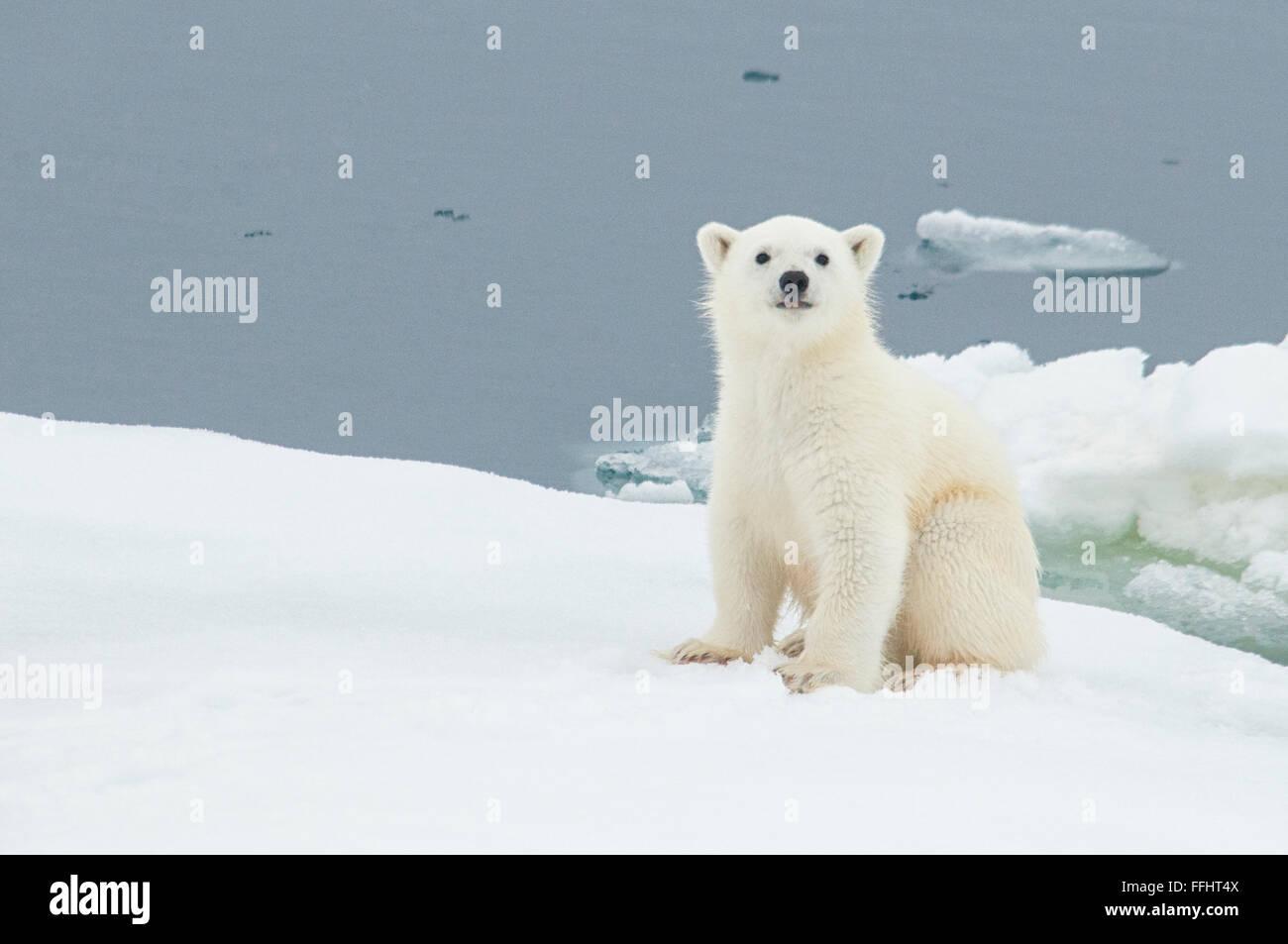 Cute little Polar Bear Cub, Ursus Maritimus, sitting on an ice floe in the arctic sea, Svalbard Archipelago, Norway Stock Photo