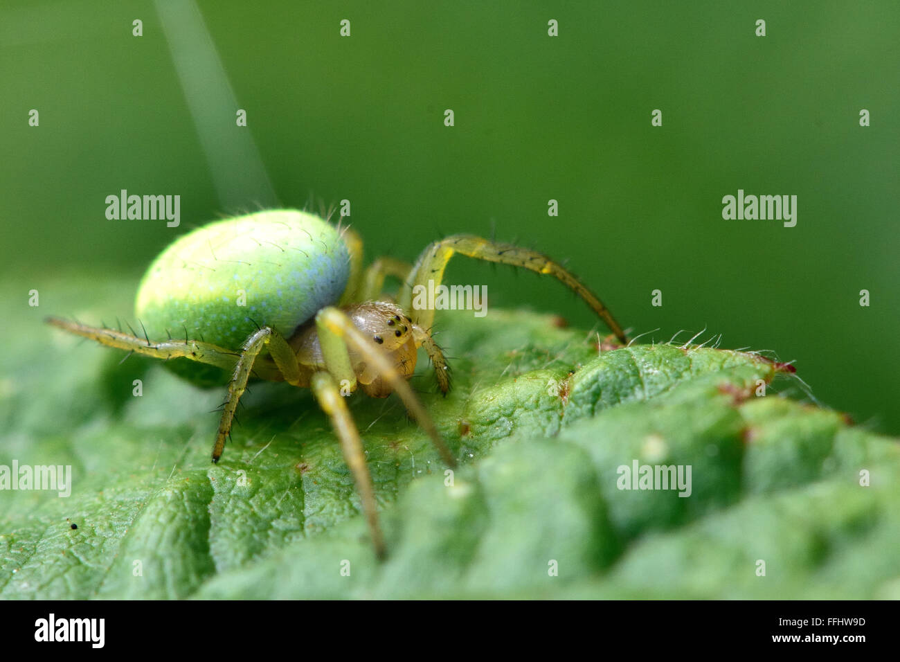 Green orb-weaver (Araniella sp.). A female spider in the family Araneidae, with distinctive green abdomen - Stock Image