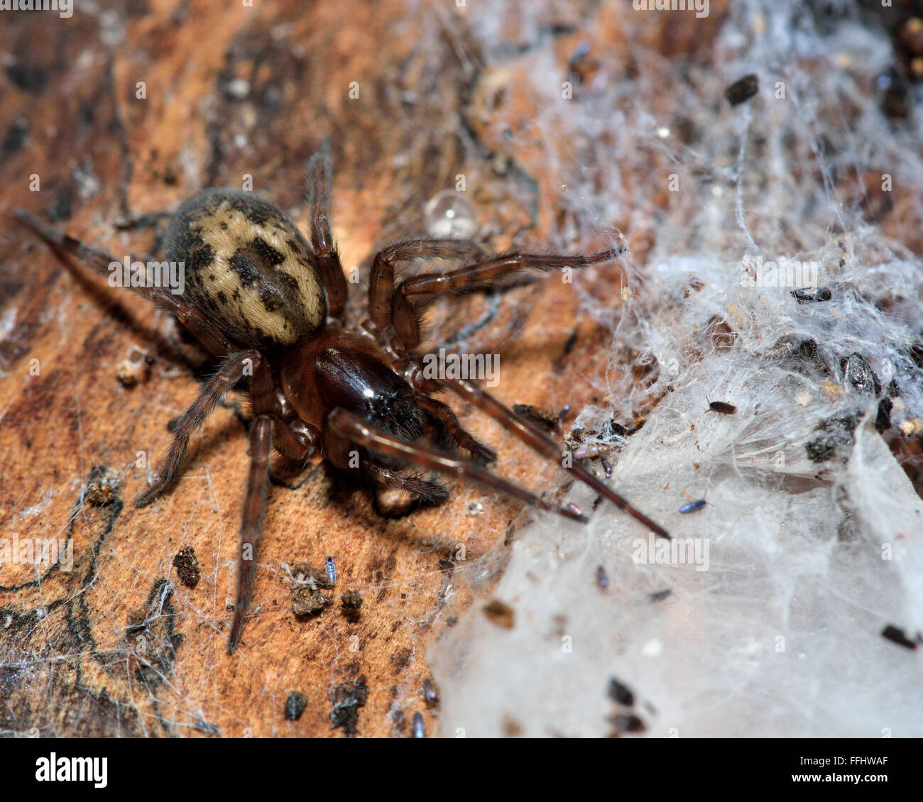 Lace webbed spider (Amaurobius fenestralis). Female spider in the family Amaurobiidae with web, discovered under - Stock Image