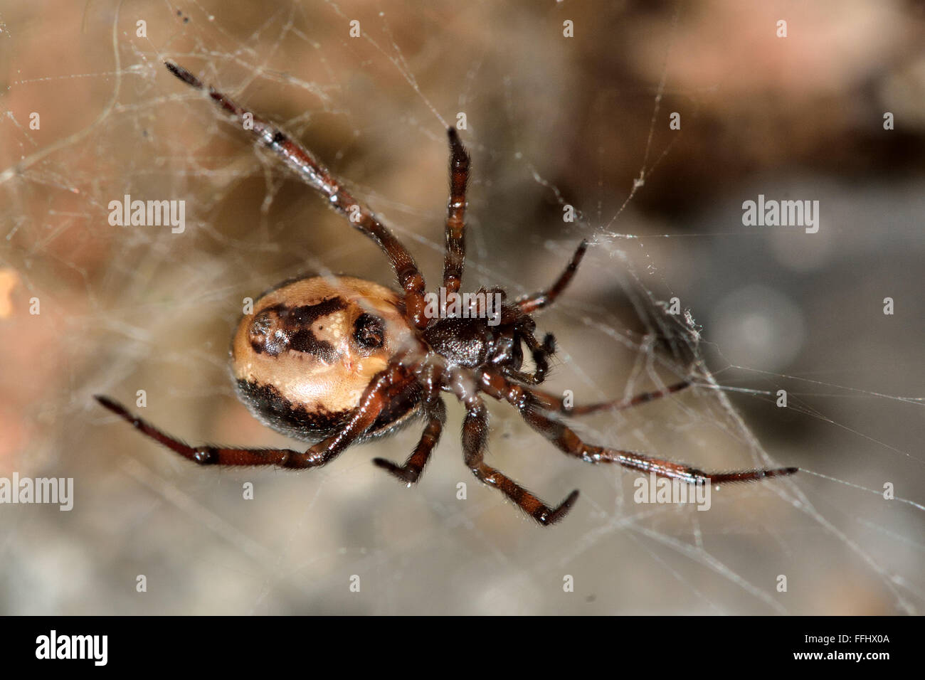 Steatoda bipunctata female showing epigyne. A female spider in the family Theridiidae, showing female reproductive - Stock Image